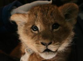 Lionet was found on the train