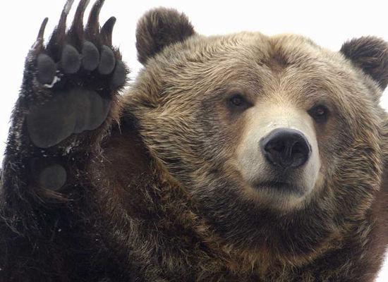 Bears and Russia