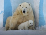 Newly Born Polar Bear in Novosibirsk Zoo